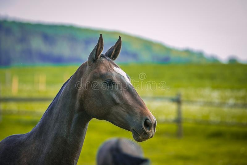 Dark brown horse standing in a paddock royalty free stock photo