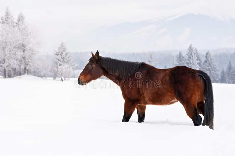 Dark brown horse walks on snow covered field in winter, blurred trees and mountain in background, side view stock photo