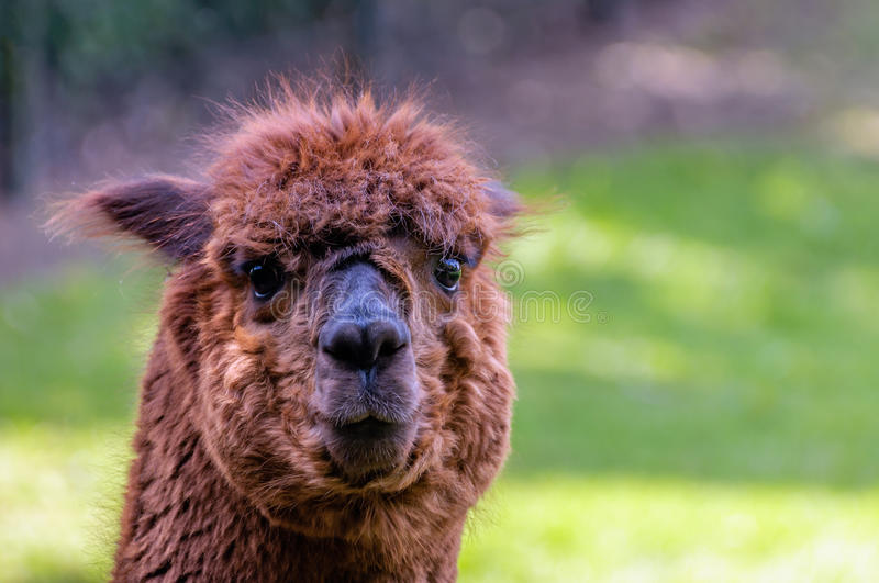 Dark brown llama with big glistening eyes from close. Portrait of a funny looking brown llama with curly hair and big glistening eyes standing in a fenced Dutch royalty free stock images