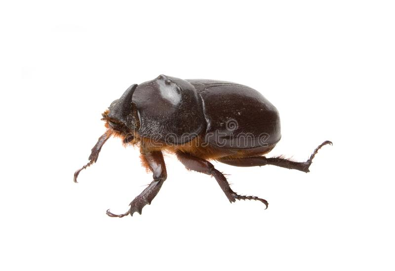 Dark brown rhinoceros beetle isolated. On white background royalty free stock images