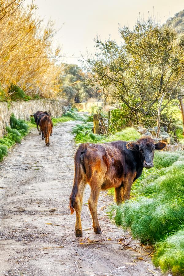 Dark brown Swiss cows grazing and walking on a muddy pathway in a rural land royalty free stock photos