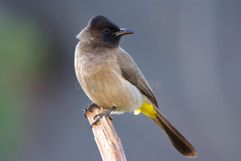 Dark-capped Black-eyed Bulbul pyconotus. Bulbul dark-capped black-eyed adult male, perched on branch royalty free stock photos