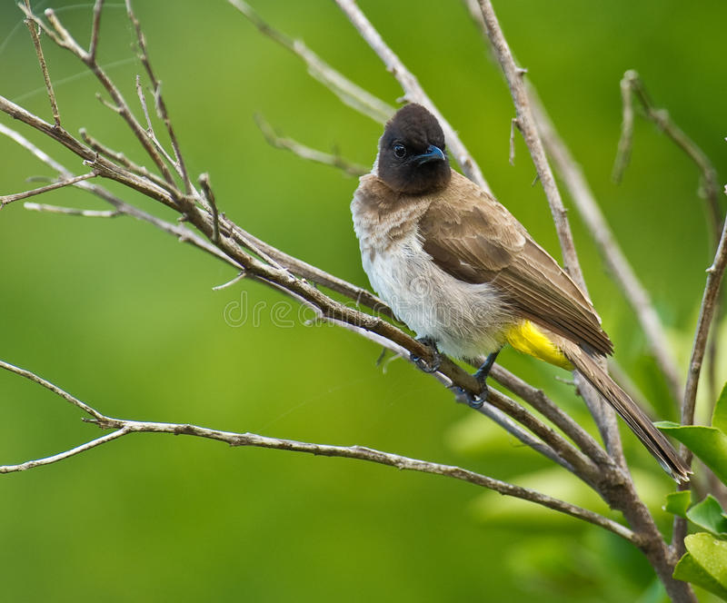 Dark-capped Bulbul. A Dark-capped, also called Black-eyed Bulbul (Pycnonotus tricolor) sits on a branch in a garden of Mombasa, Kenya royalty free stock photography