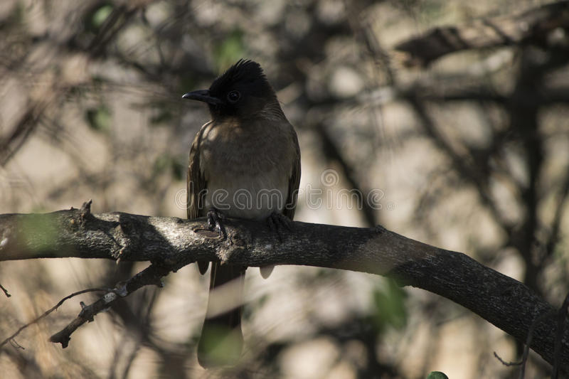 Dark-capped bulbul & x28;Pycnonotus tricolor& x29; bird perched on a branch. South Africa royalty free stock photography