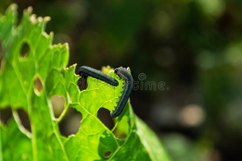 Dark caterpillars eat the green leaves of the Horseradish plant Armoracia rusticana. Caterpillars close-up. royalty free stock image