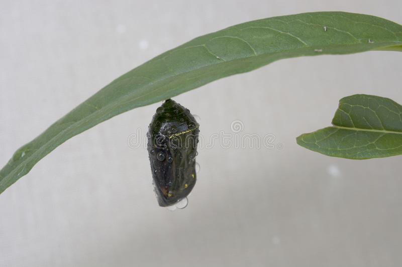 Dark Chrysalis of a Monarch Butterfly Just Before Hatching stock images