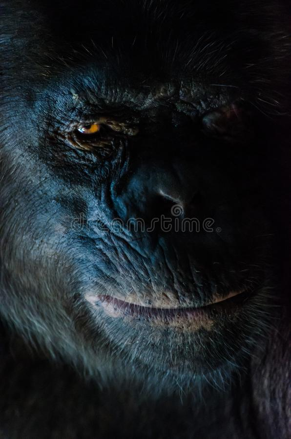 Dark closeup portrait of chimp or chimpanzee with wise look stock photography