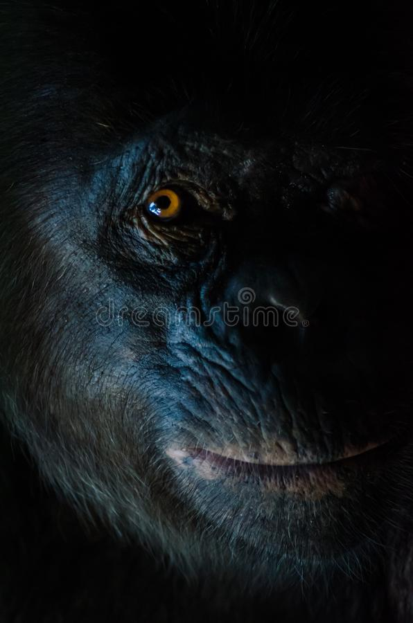 Dark closeup portrait of chimp or chimpanzee with wise look royalty free stock image