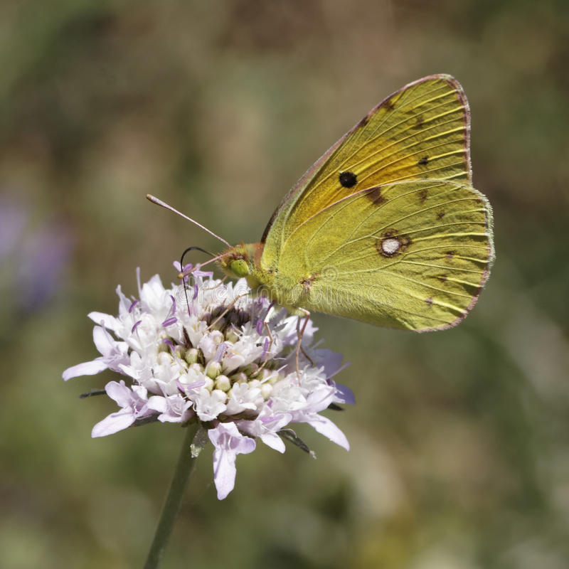 Free Dark Clouded Yellow Butterfly From Europe Royalty Free Stock Photos - 30324518