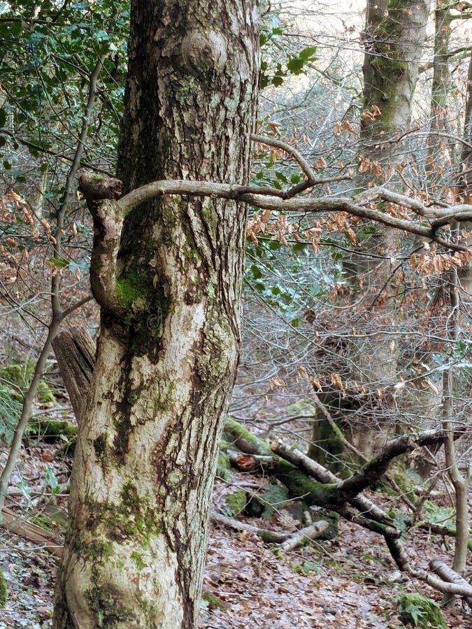 Dark dense tangled woodland with twisted tree and holly bush stock photos