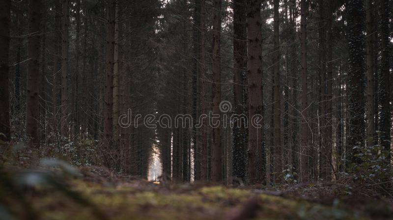 Dark dramatic forest in belgium. A dark forest in belgium with light and longs trees stock photography