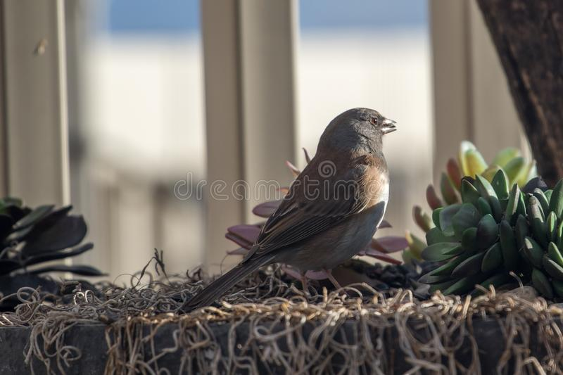Dark-eyed Junco on a back yard planter. And a seed in its mouth royalty free stock photos