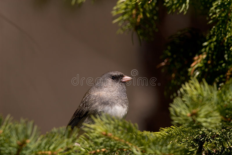 Dark-eyed Junco Bird Stock Photography
