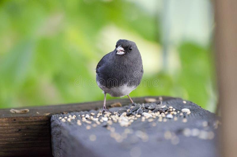 Dark Eyed Junco songbird eating bird seed. Dark-eyed Junco bird, Junco hyemalis, eating black oil sunflower birdseed. Photographed on Ratcliff Mountain in royalty free stock image