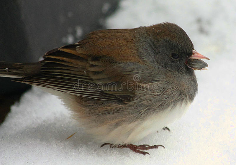 Dark-Eyed Junco Bird in Snow. Close-up of a little dark-eyed junco bird, all puffed up trying to stay warm, sitting on a snow covered bench with a sunflower seed royalty free stock photography