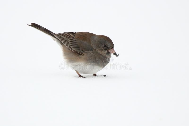 Dark Eyed Junco. A Dark Eyed Junco picks up bird seed scattered over the snow stock image