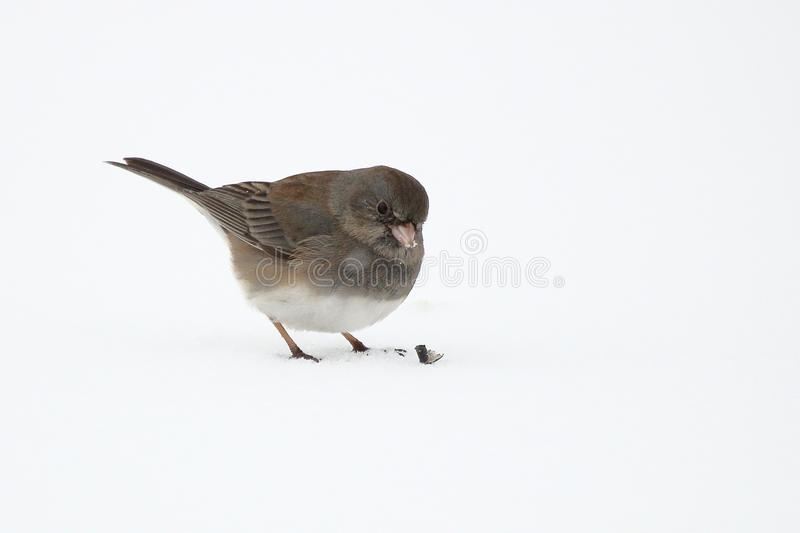 Dark Eyed Junco. A Dark Eyed Junco picks up bird seed scattered over the snow stock photo