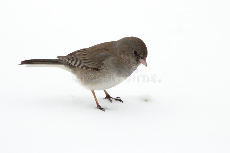 Dark Eyed Junco. A Dark Eyed Junco picks up bird seed scattered over the snow royalty free stock photo