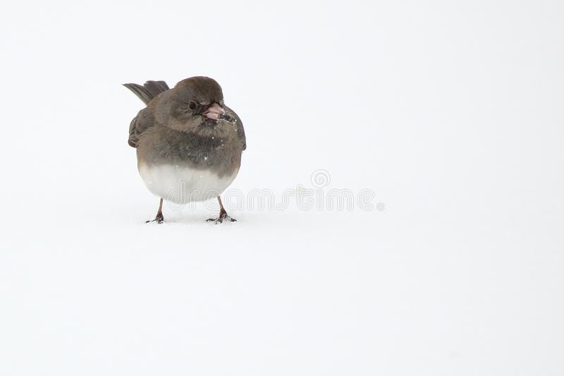 Dark Eyed Junco. A Dark Eyed Junco picks up bird seed scattered over the snow stock photography