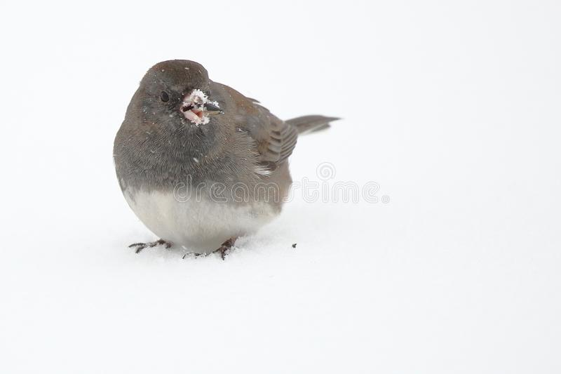 Dark Eyed Junco. A Dark Eyed Junco picks up bird seed scattered over the snow royalty free stock photos