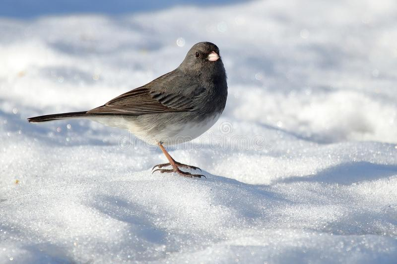Dark Eyed Junco. A Dark Eyed Junco picks up bird seed scattered over the snow royalty free stock photography