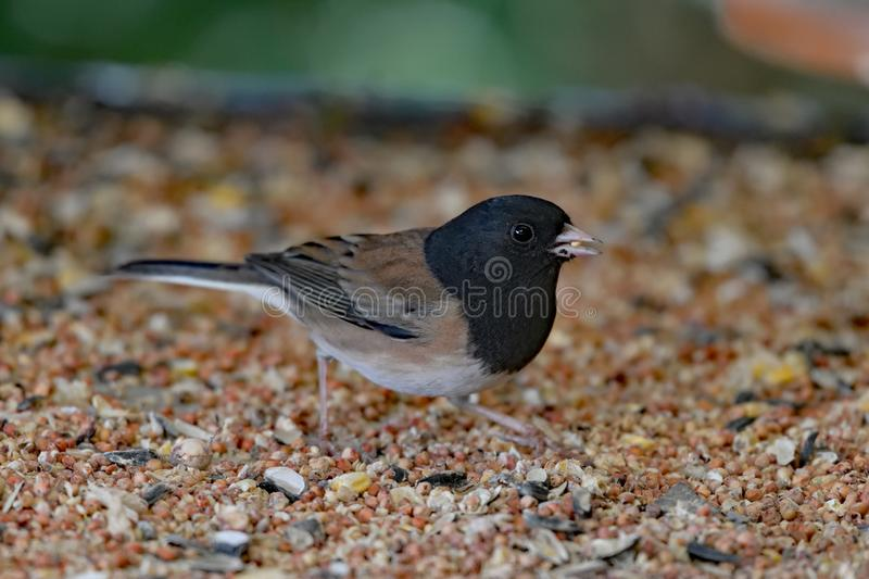 A Dark Eyed Junco Eating Grains. A beautiful dark eyed junco feeding from a pile of bird feeders stock photography