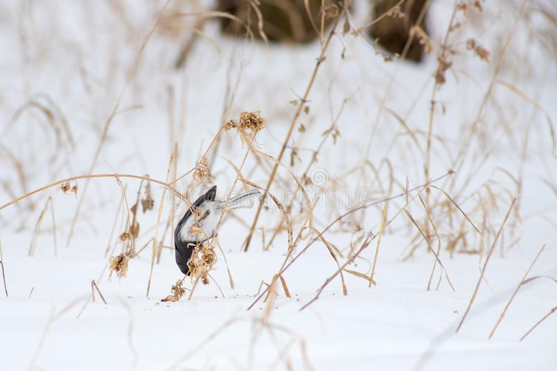 A Dark Eyed Junco Eating in the Snow. A Dark Eyed Junco feeds on small seeds in the snow along the Platte River in Nebraska royalty free stock photography