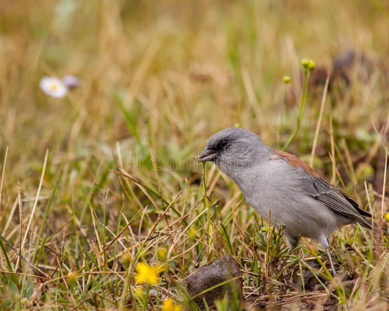 Dark-eyed junco. On the ground amongst grass and flowers royalty free stock photos