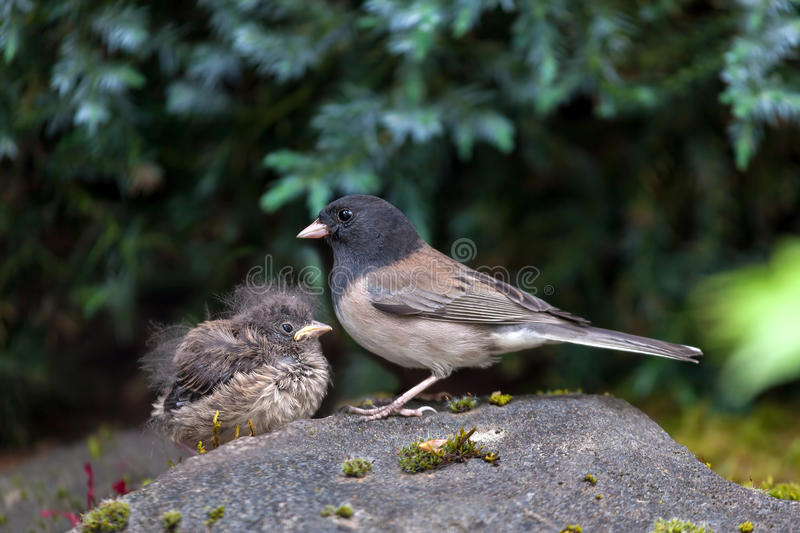 Dark-Eyed Junco Mother and Baby Chick royalty free stock image