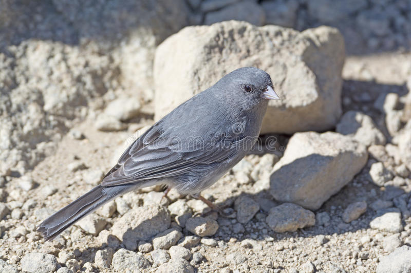 Dark-Eyed Junco on a Mountain Top royalty free stock images