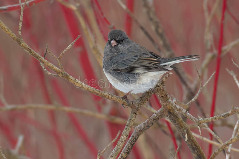 Dark-eyed Junco. Perched on a branch stock image