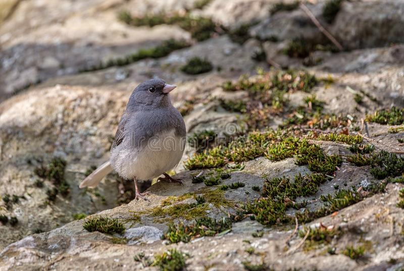 Dark Eyed Junco on a rock. A Dark Eyed Junco sitting on a rock in the shade of a tree in Shenandoah National Park royalty free stock photos