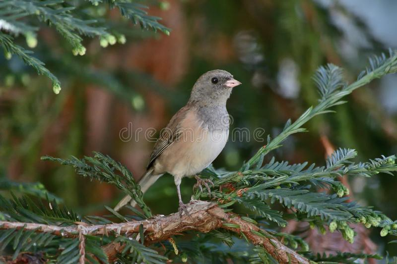 A Dark Eyed Junco sitting on a tree branch stock images