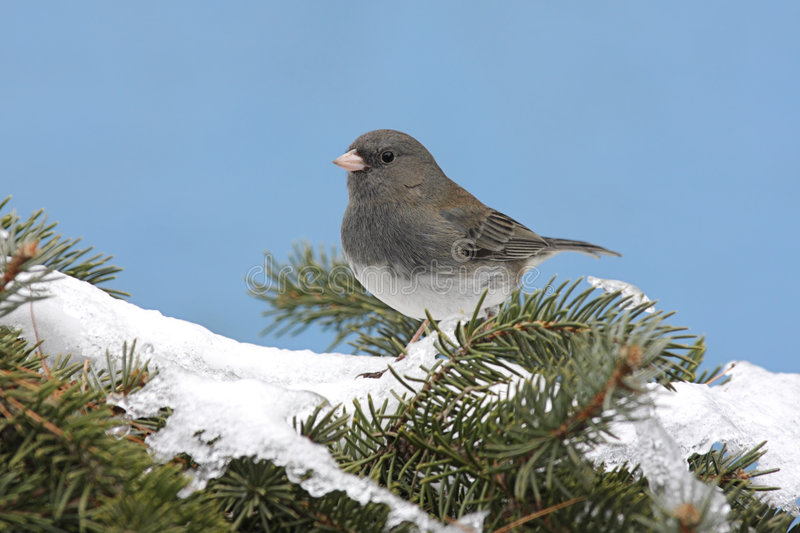 Dark-eyed Junco In Snow. Dark-eyed Junco (junco hyemalis) on a snow covered pine branch in winter royalty free stock photography