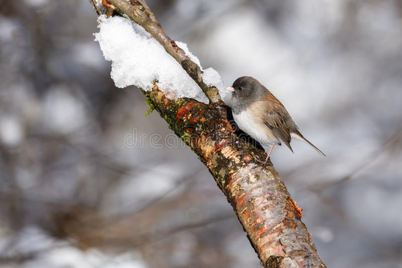 Dark-eyed junco and snow. At Vancouver BC Canada royalty free stock photo