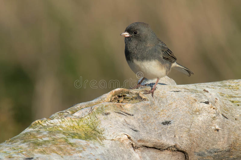 Dark-eyed Junco. Standing on a petrified log stock images