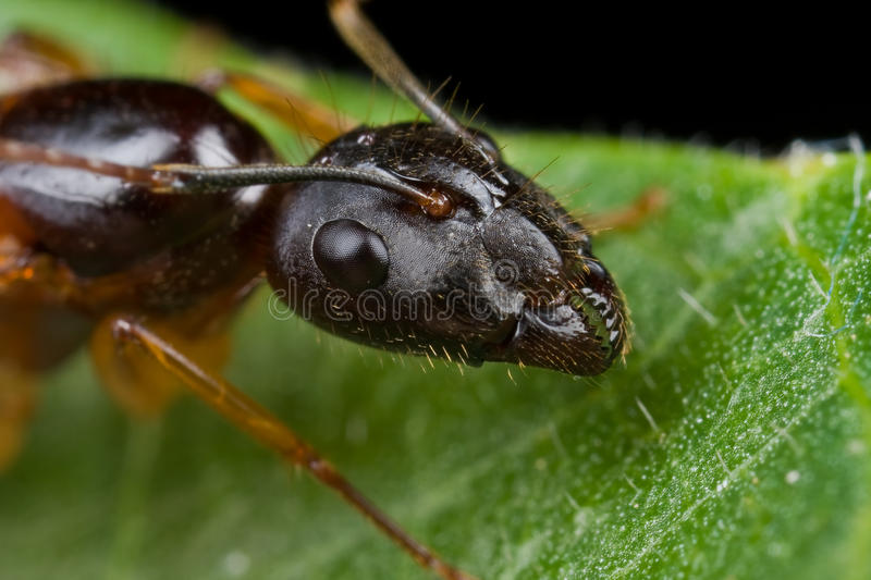 A dark female winged ant, head shot royalty free stock image