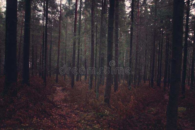 Dark fir forest in the fall with fallen needles and withered ferns, the path goes deep into the forest royalty free stock photography