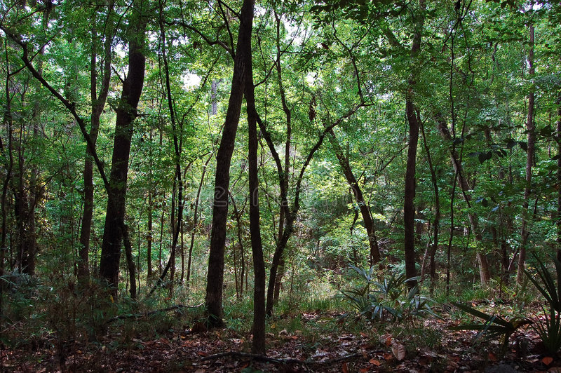 Download Dark Forest stock photo. Image of trunk, florida, quiet - 4770352