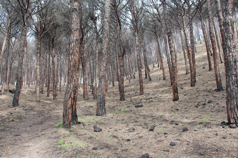 Dark forest at the foot of Mount Vesuvius.  royalty free stock images