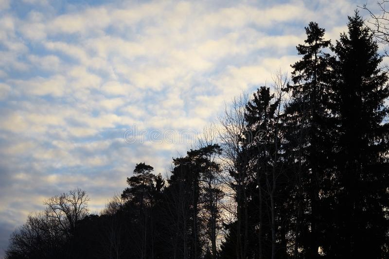 Dark forest under cloudy sky. Pine trees silhuettes against beautiful sunset sky with clouds royalty free stock images
