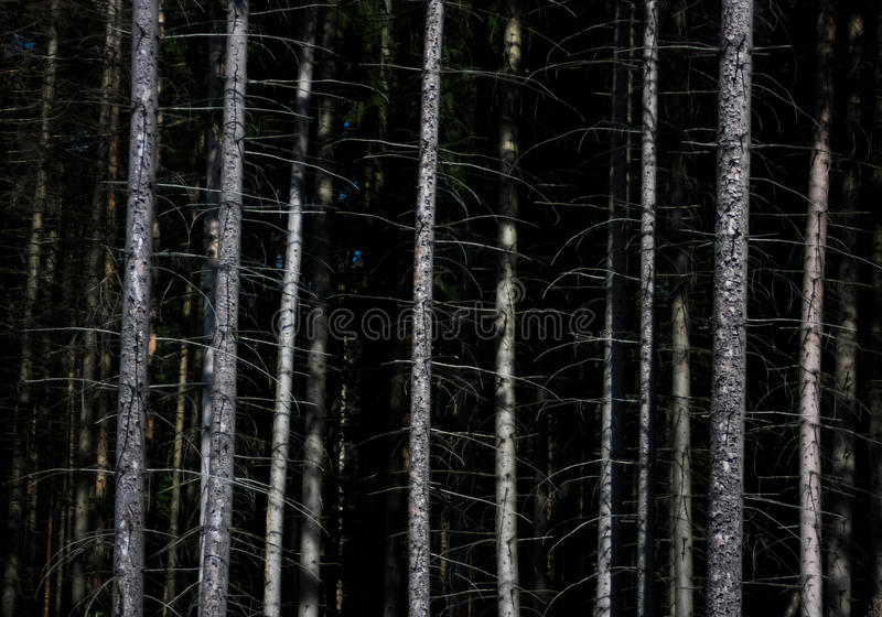 Dark forest and white trees nature background. Dark forest and white trees nature stock photography