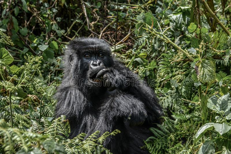 Dark furred adolescent mountain gorilla eating in Volcanoes National Park Rwanda. Very dark furred adolescent mountain gorilla having a snack in the bright royalty free stock image