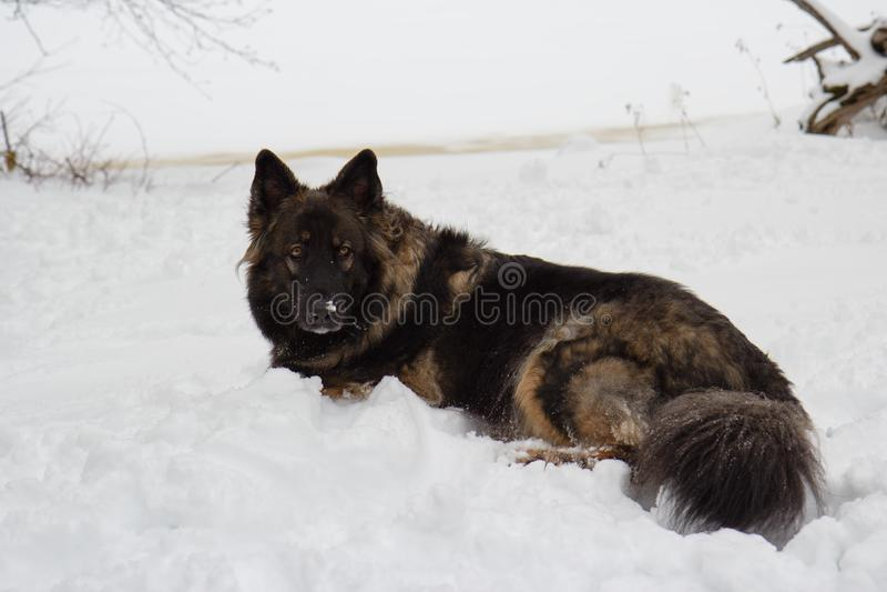 Dark German Shepherd Mix Laying in White Snow in Winter stock photos