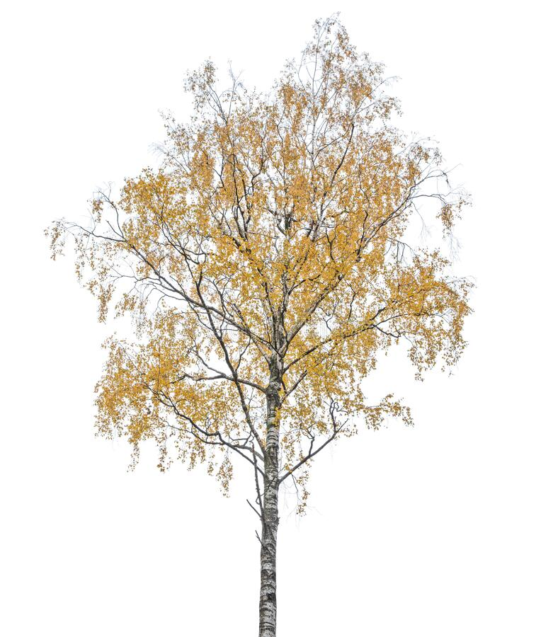 Dark gold autumn birch tree isoalted on white stock images