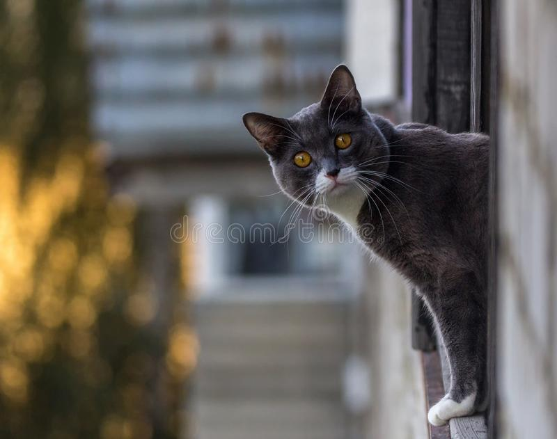 Dark gray cat with a white spot eyeing. Portrait of a dark gray cat with a white spot eyeing royalty free stock images