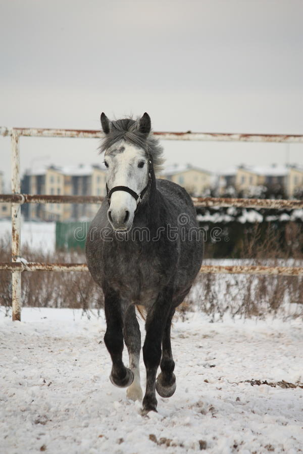Dark gray pony trotting in the snow stock images