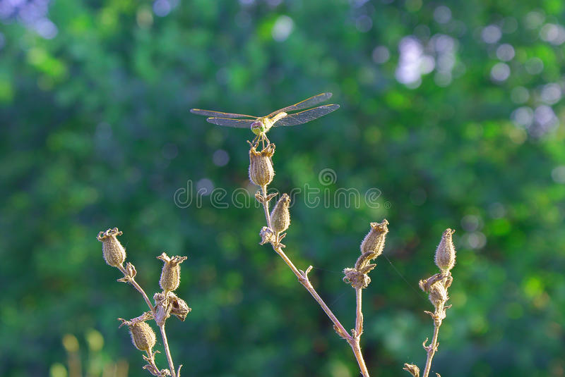 Dark green blurred background of summer with dragonfly on dry flower royalty free stock photo