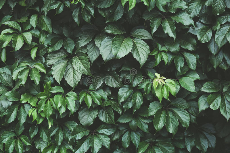 Dark green foliage, Green leaves background, pattern, texture stock photography