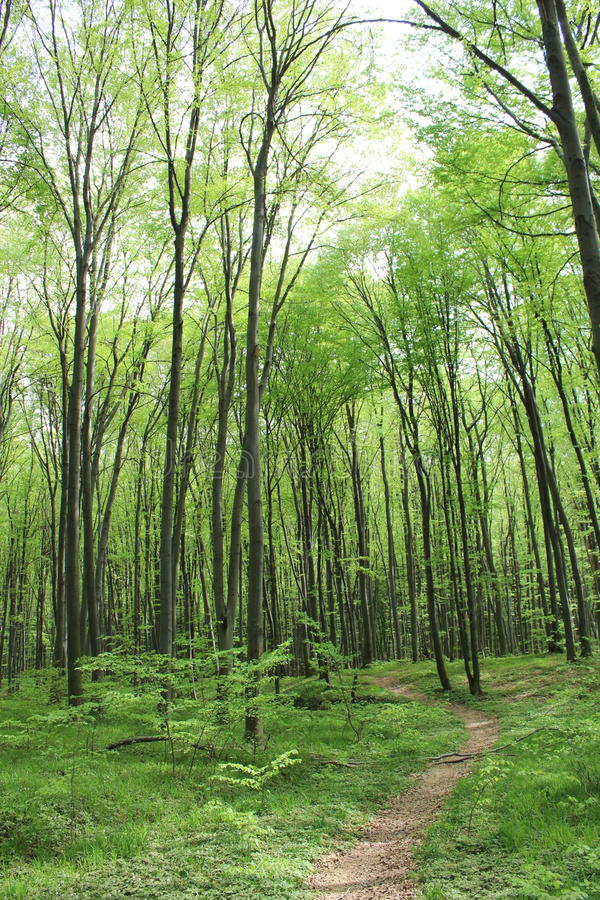 Dark green forest thicket. Forest where very tall trees and green grass in the distance are royalty free stock photography